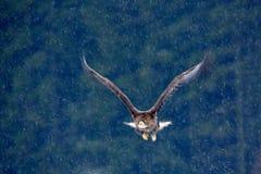 Erster Schnee im Waldraubvogel Seeadler, Haliaeetus albicilla, fliegend mit Schneeflocke, dunkler Wald im Hintergrund EA Stockfoto