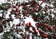 Erster Schnee und rote Beere Stockbild