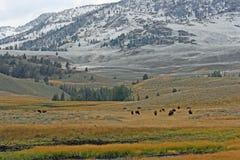 Erster Schnee in Yellowstone und in den weiden lassen Bisonen stockfoto