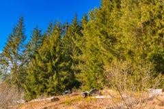 Erster Tag der Frühlingsfelsenbeschaffenheit und der grünen Kiefer Lizenzfreie Stockfotos