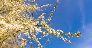 Erstes blüht im Frühjahr Lizenzfreies Stockbild