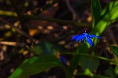Erstes Frühling scilla stockfotos