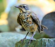 Erstes Mal des Babyrotkehlchens, welches das Nest verlässt lizenzfreies stockfoto