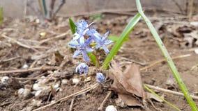 Erstes Zeichen des Frühlinges, eine schöne kleine blaue Blume lizenzfreies stockfoto