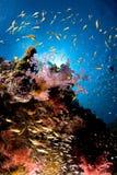 Ertsader en gekleurde school van vissen, Rode Overzees, Egypte Stock Fotografie