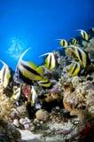 Ertsader en gekleurde school van vissen, Rode Overzees, Egypte Stock Foto