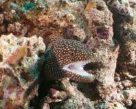 Ertsader en koraal de Maldiven Royalty-vrije Stock Foto