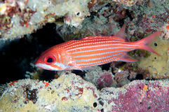 Ertsader Squirrelfish Stock Afbeeldingen