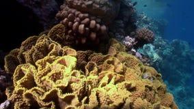Ertsader van diverse koralen onderwater Rode overzees stock footage