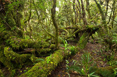 Erua Forest. Is a piece of native New Zealand rainforest located in Tongariro National Park - one of most popular hiking and trekking places in Australasia Stock Image