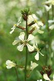 Eruca sativa in blossom Royalty Free Stock Photos