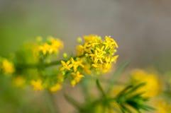A erva-coalheira do retrato da planta fotos de stock royalty free