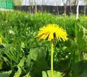 Erva daninha amarela da natureza do jardim do dente-de-leão Imagem de Stock
