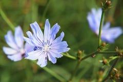 Erva daninha azul Foto de Stock Royalty Free