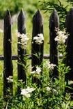 Erva daninha contra a cerca de madeira velha Foto de Stock