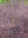 Erva daninha cor-de-rosa Foto de Stock Royalty Free