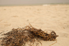 Erva daninha da praia (2) Imagens de Stock
