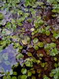 Erva daninha de lagoa através da água Foto de Stock Royalty Free