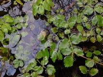 Erva daninha de lagoa na água Fotografia de Stock