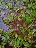Erva daninha de lagoa na água Fotografia de Stock Royalty Free