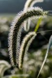 Erva daninha do Foxtail no campo do feijão de soja Imagens de Stock