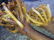 Erva daninha do mar imagens de stock