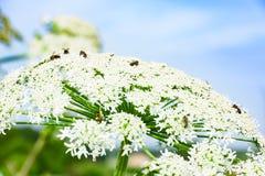 Erva daninha gigante de florescência venenosa hogweed imagens de stock