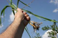Erva daninha puxada terra arrendada da mão de encontro ao céu. fotografia de stock