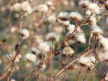 Erva daninha seca do inverno Fotografia de Stock Royalty Free