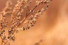 Erva daninha secada na luz solar Imagem de Stock