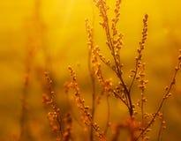 Erva daninha secada na luz solar Imagens de Stock