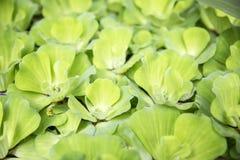 Erva daninha verde do pato imagens de stock