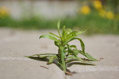 Erva daninha verde (planta) Foto de Stock