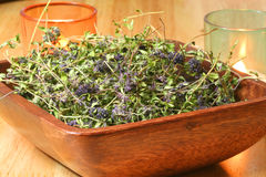 Erva do tomilho (serpyllum do Thymus) Fotos de Stock