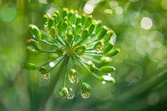 Erva-doce com gotas de orvalho nos destaques, bokeh do verde do guarda-chuva fotos de stock royalty free
