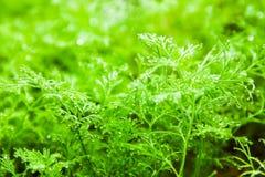 A erva-doce cresce na cama foto de stock