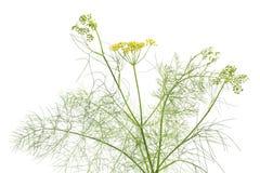 Erva-doce de florescência Imagem de Stock Royalty Free