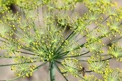 Erva-doce no jardim Fotos de Stock Royalty Free