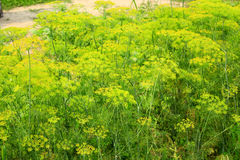 Erva-doce que cresce no jardim vegetal fotos de stock