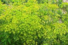 Erva-doce que cresce no jardim vegetal fotos de stock royalty free