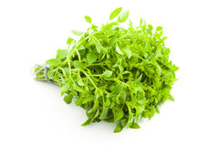 Erva fresca da manjericão/especiaria no fundo branco Imagens de Stock Royalty Free
