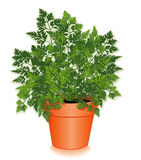 Erva fresca do cerefólio em um potenciômetro de flor Fotos de Stock Royalty Free