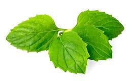 Erva fresca, pastilha de hortelã verde isolada no branco Fotografia de Stock