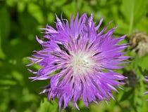Erva medicinal (carthamoides de Rhaponticum) Fotografia de Stock