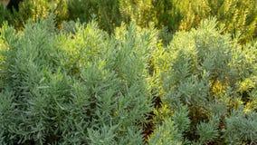 A erva perfumada da alfazema é planta constante arborizado comestível no quintal inglês tradicional da casa de campo que plant foto de stock royalty free
