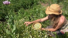 A erva saudável da camomila da picareta da mulher floresce na jarda rural da casa 4K vídeos de arquivo