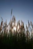A erva selvagem no céu azul do fundo. Fotos de Stock