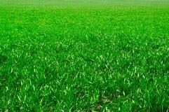 A erva verde. Imagens de Stock Royalty Free