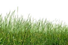 Erva verde Imagem de Stock