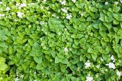 A erva verde fresca da pastilha de hortelã é usada igualmente medicinalmente como uma tisana Imagens de Stock Royalty Free